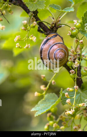 Cozy Garden scene with Grove snail (Cepaea nemoralis) in berry plant (Ribes rubrum) - Stock Photo