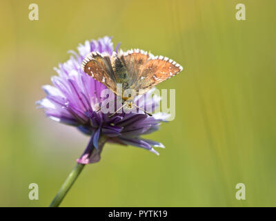 Beautiful Wild Dusky Grizzled Skipper Butterfly (Pyrgus cacaliae) - Feeding on Flowers - Stock Photo