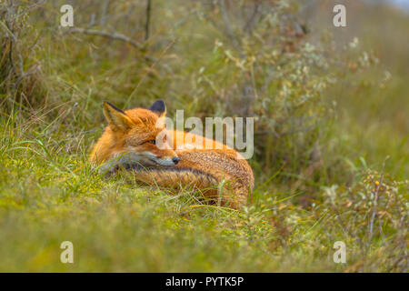 European red fox (Vulpes vulpes) resting in grass. Red Foxes are adaptable and opportunistic omnivores and are capable of successfully occupying urban - Stock Photo