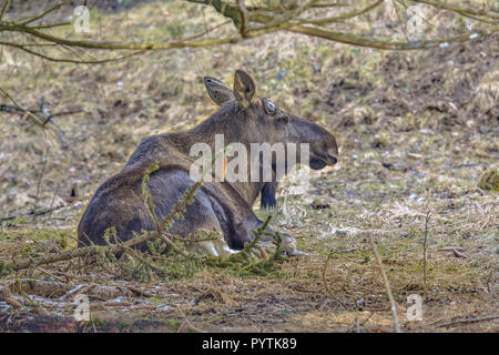 The moose (North America) or elk (Eurasia), Alces alces, is the largest extant species in the deer family. Adult animal resting under tree. - Stock Photo