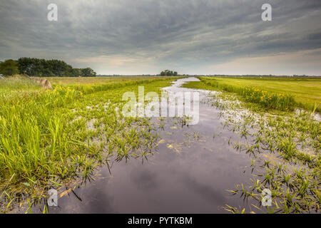 Water vegetation dominated by Water Soldier (Stratiotes aloides) also known as Crab's claw. This is the natural habitat of protected rare dragonfly sp - Stock Photo