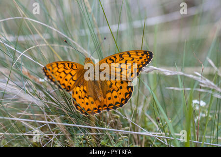 The Dark Green Fritillary Butterfly prefers pastures and flowery banks - Stock Photo