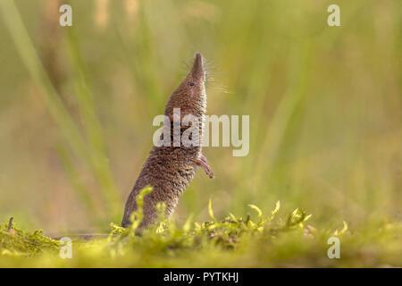 Eurasian pygmy shrew (Sorex minutus) sniffing and looking up in natural environment - Stock Photo