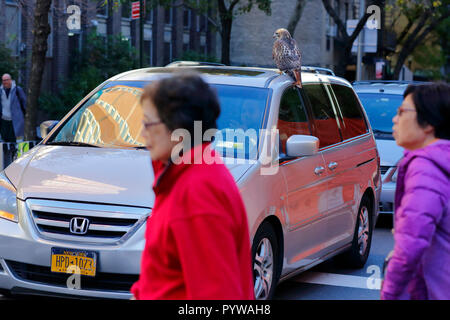 New York City, USA. 30th Oct, 2018. New Yorkers seem unfazed by the sighting of a red tailed hawk on a car in Manhattan.  The sick, possibly injured hawk after landing on the sidewalk, and scrambling on top of a car. - Stock Photo