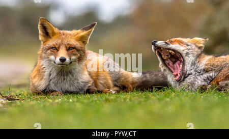 Two European red fox (Vulpes vulpes) family members lying in grass and moaning. This animal is present across the entire Northern Hemisphere from the  - Stock Photo