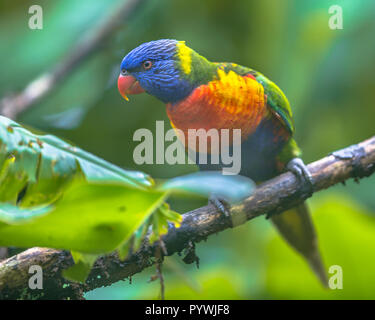 Rainbow lorikeet (Trichoglossus moluccanus) is a species of parrot found in rainforests of Australia