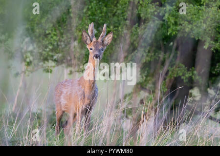 Landscape capture of solitary, young roe deer buck (Capreolus capreolus) roaming wild in UK woodland, front-facing, staring out. Spring late afternoon. - Stock Photo