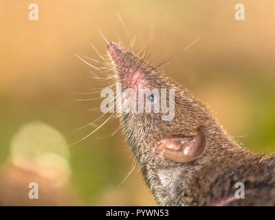 Greater White-toothed shrew (Crocidura russula) pointing nose in the air and smelling for danger - Stock Photo