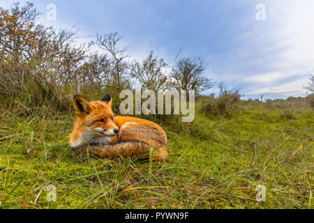 Resting European red fox (Vulpes vulpes) in grass of dunes in the Netherlands. Red Foxes are adaptable and opportunistic omnivores and are capable of  - Stock Photo