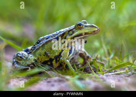 Green Edible frog (Pelophylax klepton esculentus) sitting and watching in the grass of a garden lawn - Stock Photo