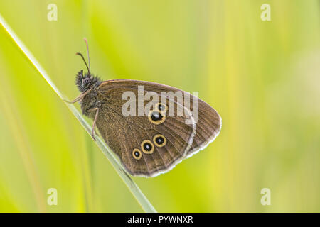 Ringlet (Aphantopus hyperantus) butterfly on bright green background. In Europe it is common in most countries but absent from northern Scandinavia, p - Stock Photo