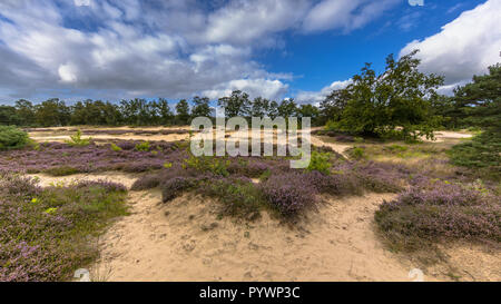 Panorama image of Nature reserve near Zeegse in Drentse Aa National Park with blooming heath (Calluna vulgaris), sand, grass, clouds and blue sky - Stock Photo