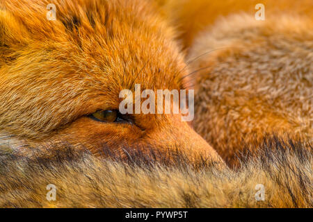 Close up of the head of Resting European red fox (Vulpes vulpes). Red Foxes are adaptable and opportunistic omnivores and are capable of successfully  - Stock Photo