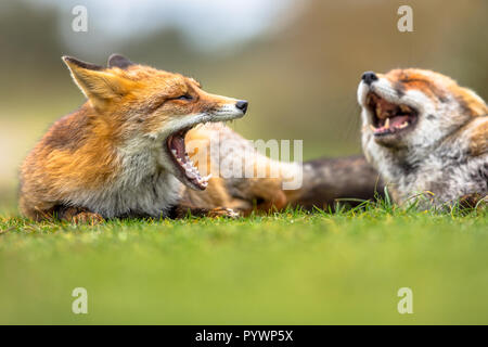 Two European red foxes (Vulpes vulpes) growling to each other in grass. The most abundant wild member of the Carnivora, being present across the entir - Stock Photo
