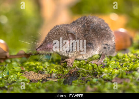 Greater White-toothed shrew (Crocidura russula) walking on green moss on the forest floor - Stock Photo