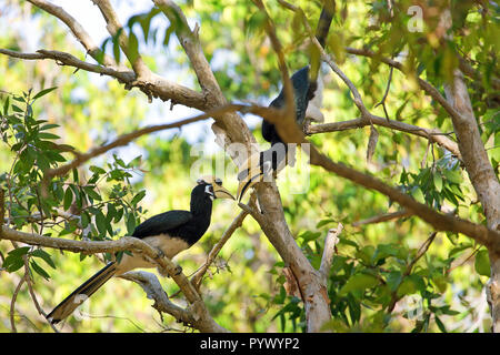 Couple of Hornbill Anthracoceros albirostris standing on a branch in the Koh Tarutao island jungle, Thailand - Stock Photo