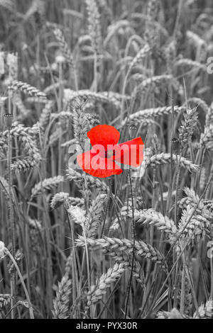 Poppy Papaver rhoeas  in its natural red colour against a de-saturated background of black and white wheat sheaves - Stock Photo