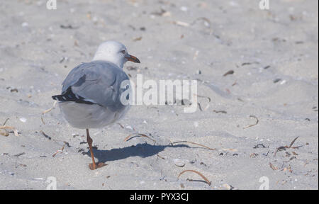 Australian seagull balanced on one leg on a white sandy beach on Kangaroo Island, Australia - Stock Photo