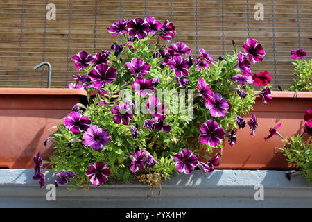 Purple with white stripes fully open Petunia flowers surrounded with small green leaves growing from large flower pots on concrete balcony fence - Stock Photo