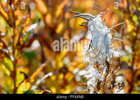 Rosebay Willowherb in seed (chamerion angustifolium or epilobium angustifolium), close up of a single back lit seedhead. - Stock Photo