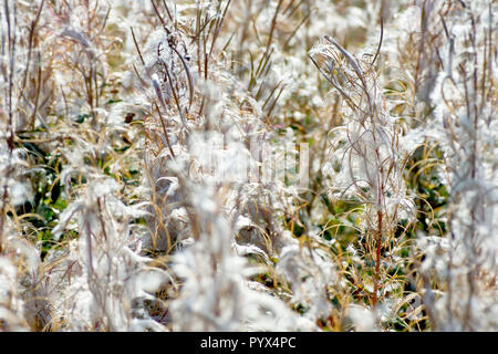 Rosebay Willowherb in seed (chamerion angustifolium or epilobium angustifolium). - Stock Photo