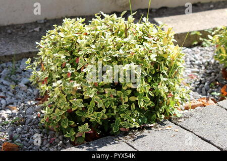 Wintercreeper or Euonymus fortunei or Spindle or Climbing euonymus or Fortunes spindle or Winter creeper evergreen shrub plant with green to yellow - Stock Photo