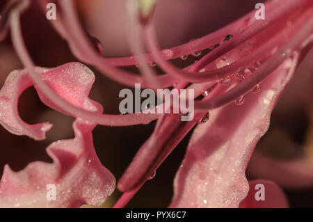 Close Up of Bowden Lily or Nerine Bowdenii - Stock Photo