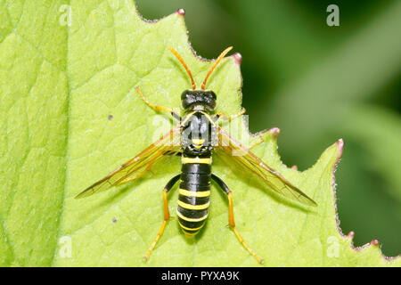 Figwort Sawfly on leaf - Tenthredo scrophulariae (L.) - Stock Photo