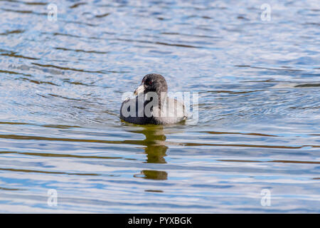 American Coot (Fulica americana) swimming. - Stock Photo