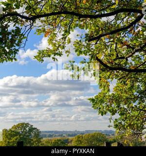 Leaves on an Oak tree changing colour in the autumn sunshine - Stock Photo