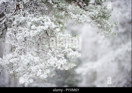 Snow covered pine (Pinus sylvestris) branch. Selective focus and shallow depth of field. - Stock Photo