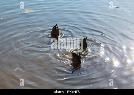 Three mallard ducks with their bottoms up in the water - Stock Photo