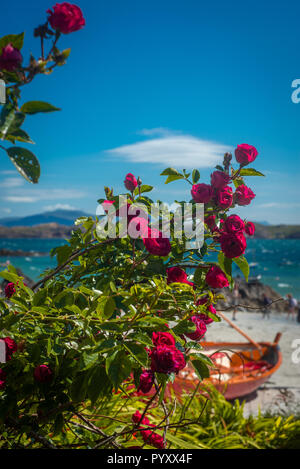 Red Roses With White Sand and Turquoise Sea in the Background, Isle of Iona, Inner Hebrides, Scotland - Stock Photo