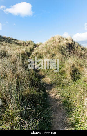 Marram Grass Ammophila growing on the sand dune system overlooking Crantock Beach in Newquay in Cornwall. - Stock Photo