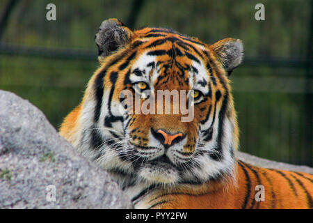 Siberian tiger Panthera tigris altaica , also known as the Amur tiger. - Stock Photo