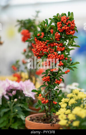 Colorful decorative tree in a flower pot with bright berries close-up, sunny day. Autumn season. Modern natural background - Stock Photo