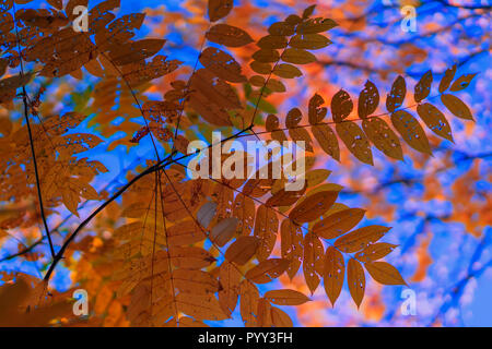 Colorful, golden and transparent on the light leaves of ash on the background of the sky, sunny day. Autumn season. Modern natural background - Stock Photo