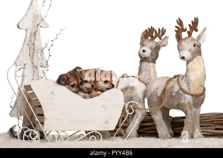 Chihuahua puppies, 2 months old, in Christmas sleigh in front of white background - Stock Photo