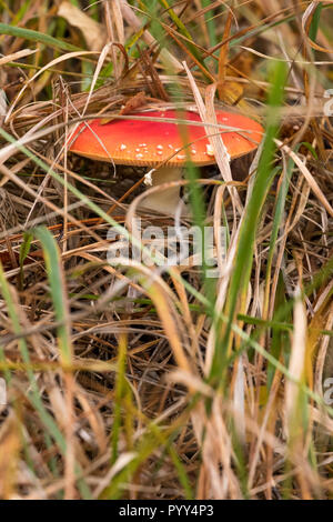 Fly agaric mushroom / toadstool with red spotted cap growing in grass in woods in Hampshire. Known also as amanita muscaria. Mushroom is poisonous