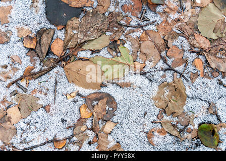 Dried and frozen alder tree leaves on the ground - Stock Photo