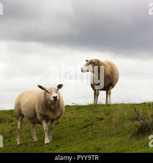 View on two sheep standing together on a dike on one of the wadden islands Texel in the Netherlands. The grass is green and the sky is overcast - Stock Photo