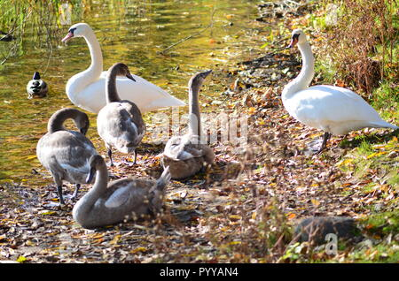 Family of beautiful white swans relaxing by the lake with young grey cygnets between reed plants - Stock Photo