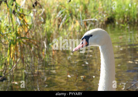 Horizontal closeup portrait image of a beautiful white colored Cygnus olor mute swan, Hockerschwan swimming in the lake on a warm and sunny autumn day - Stock Photo