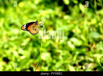 A butterfly feeding on a yellow daisy flower, green background - Stock Photo