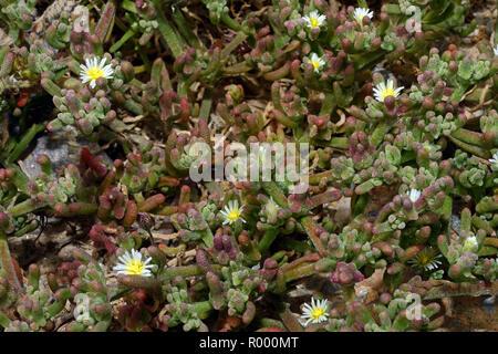 Mesembryanthemum nodiflorum (slenderleaf ice plant) is a succulent plant often found in coastal habitats. - Stock Photo