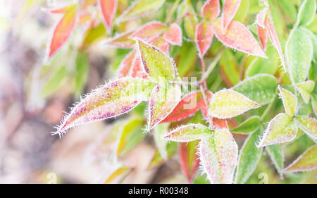 autumn-colored nandina domestica leaves covered with hoarfrost - Stock Photo