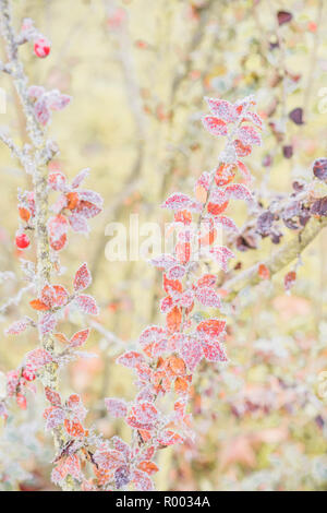 himalyan cotoneaster twigs covered with hoarfrost - Stock Photo