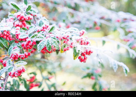 red firethorn covered with hoarfrost, - Stock Photo