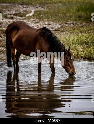 A Brown wild new forest pony drinking from a pond - Stock Photo