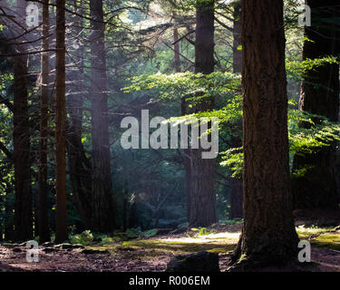 Light rays shining through trees onto the forest floor - Stock Photo